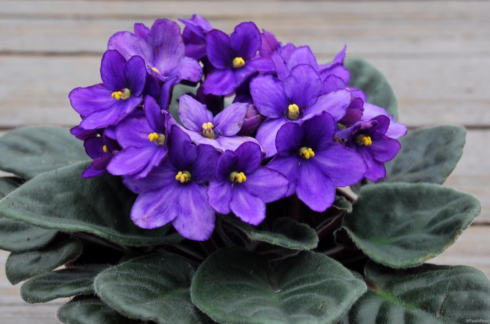 Цветы фиалки домашние