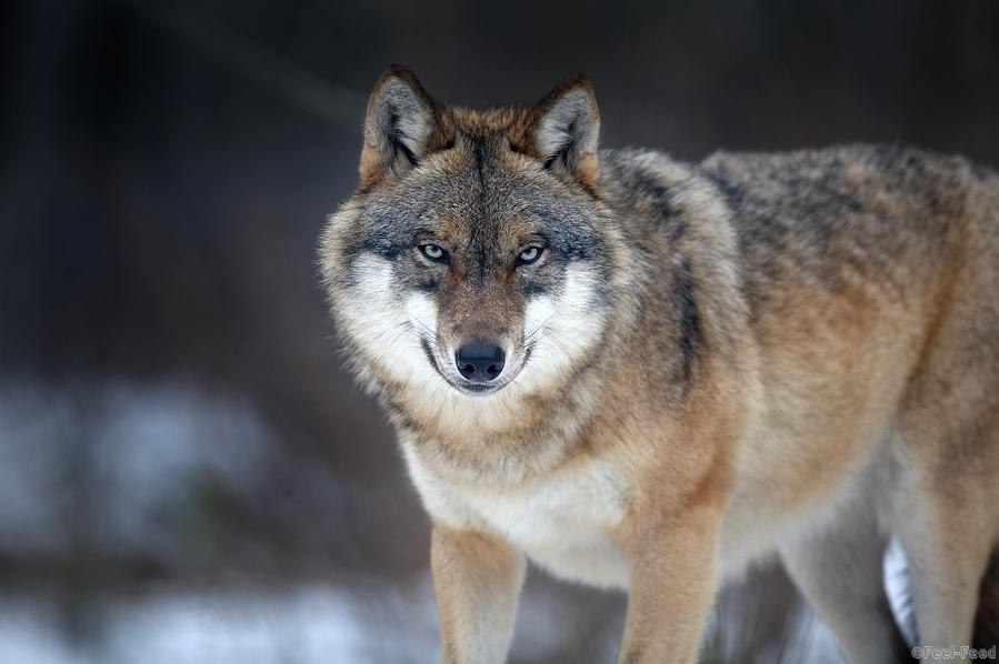 gray_wolf_01_large